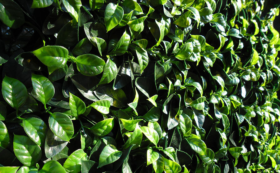 Siepi prezzi siepe finta piante rampicanti vendita siepe for Siepe finta amazon